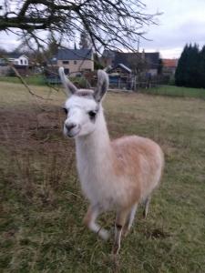 anniversaire-enfant-lama-la-ferme-des-capucines-guapo