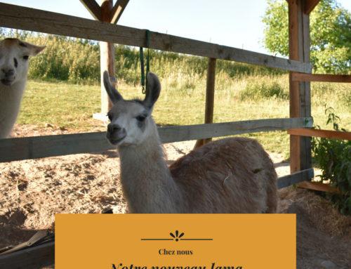Notre nouveau lama Guapo!